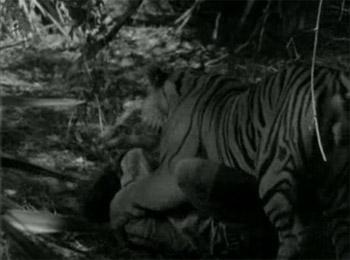 Jungle Jim--tiger