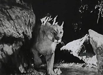White Eagle--puma