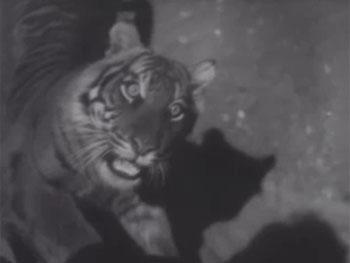 Return of Chandu--tiger